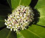 Skimmie Bluete weiß Skimmia japonica 08