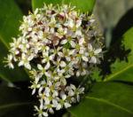 Skimmie Bluete weiß Skimmia japonica 09