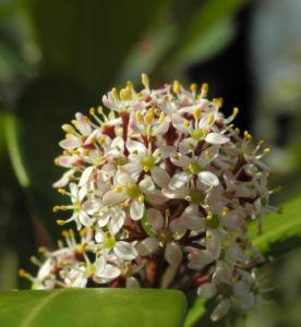 Skimmie Bluete weiß Skimmia japonica 14
