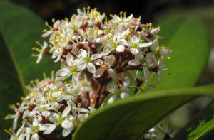 Skimmie Bluete weiß Skimmia japonica 15