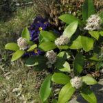 Bild: Skimmie Blüte weiss Skimmia japonica