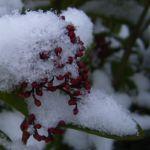 Bild:  Skimmie Knospe rot Skimmia japonica