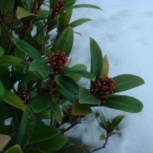 Bild: Skimmie japanisch Skimmia japonica
