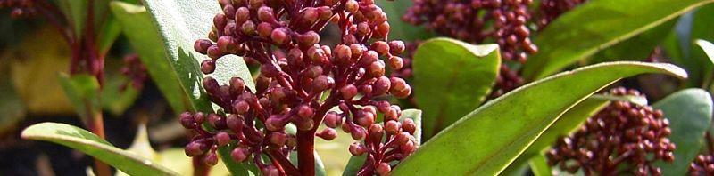 Anklicken um das ganze Bild zu sehen Skimmie Knospe rot Skimmia japonica