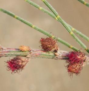 Small Bull Oak Busch Bluete rot Allocasuarina striata 03