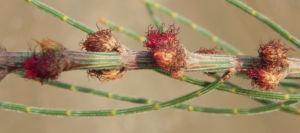 Small Bull Oak Busch Bluete rot Allocasuarina striata 04