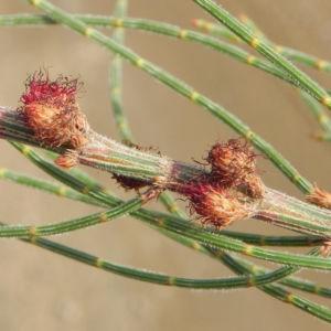 Small Bull Oak Busch Bluete rot Allocasuarina striata 05