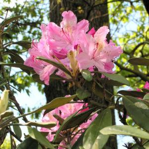 Smirnows Alpenrose Bluete pink Rhododendron smirnowii 01