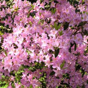 Smirnows Alpenrose Bluete pink Rhododendron smirnowii 02