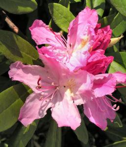 Smirnows Alpenrose Bluete pink Rhododendron smirnowii 03