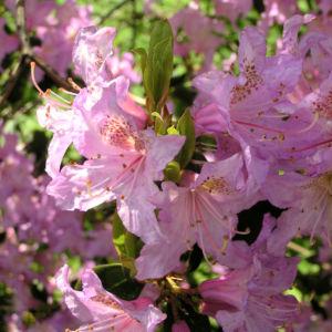 Smirnows Alpenrose Bluete pink Rhododendron smirnowii 05