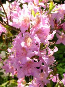 Smirnows Alpenrose Bluete pink Rhododendron smirnowii 07