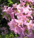 Smirnows Alpenrose Bluete pink Rhododendron smirnowii 10