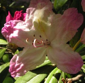 Smirnows Alpenrose Bluete pink Rhododendron smirnowii 12