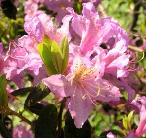 Smirnows Alpenrose Bluete pink Rhododendron smirnowii 13