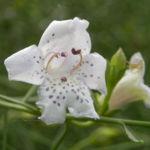 Snowy-Mint-Bush Blüte weiß Prostanthera nivea 05
