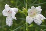 Snowy-Mint-Bush Blüte weiß Prostanthera nivea 11