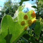 Sommer Eiche Quercus robur 01