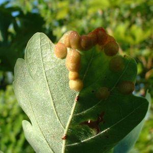 Sommer Eiche Quercus robur 03