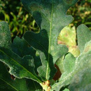 Sommer Eiche Quercus robur 04