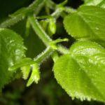 Bild: Sommer-Linde Blatttrieb grün Tilia platyphyllus