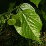 Sommer Linde Blatttrieb Tilia platyphyllus 04