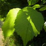Sommer Linde Tilia platyphyllus 01