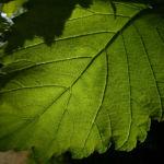 Sommer Linde Tilia platyphyllus 02