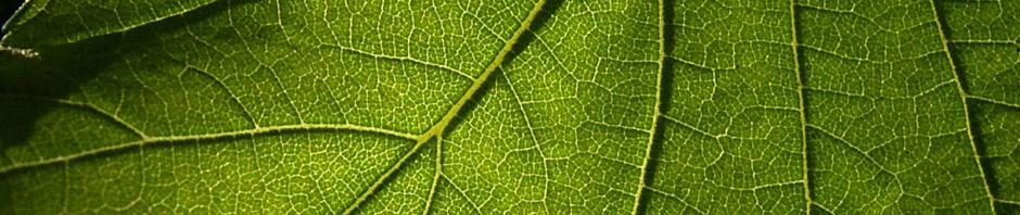 sommer-linde-knospe-blatt-gruen-tilia-platyphyllus