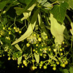 Sommer Linde Tilia platyphyllus 03