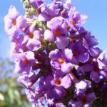 Bild: Sommerflieder Fliederspeer Blüte lila Buddleja davidii