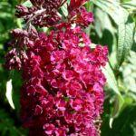 Bild: Sommerflieder Blüte bordeaux Buddleja davidii