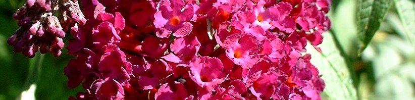 Anklicken um das ganze Bild zu sehen Sommerflieder Blüte bordeaux Buddleja davidii