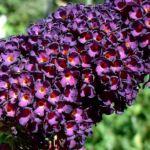 Bild: Sommerflieder Blüte dunkel lila Buddleja davidii