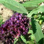 Bild: Sommerflieder Blüte lila Buddleja davidii