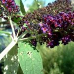 Sommerflieder lila Buddleja davidii 02