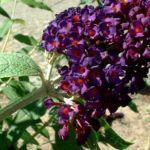 Sommerflieder lila Buddleja davidii 03
