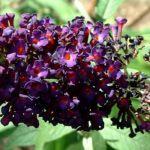 Sommerflieder lila Buddleja davidii 05