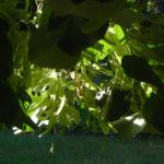 Sommerlinde Blatt gruen Tilia platyphyllos 01