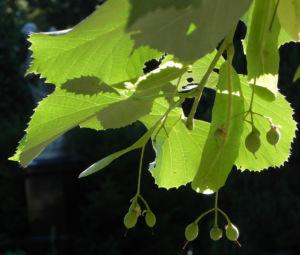 Sommerlinde Blatt gruen Tilia platyphyllos 03