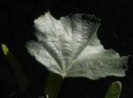Sommerlinde Blatt gruen Tilia platyphyllos 04