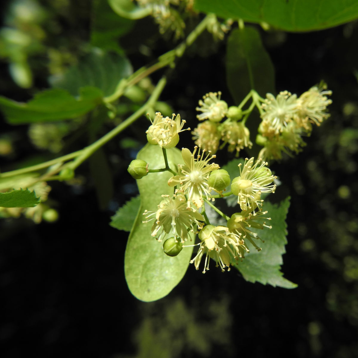 Sommerlinde Bluete gelblich Tilia platyphyllos