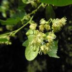 Sommerlinde Bluete gelblich Tilia platyphyllos 01