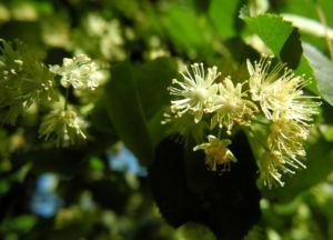 Sommerlinde Bluete gelblich Tilia platyphyllos 04