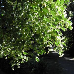 Sommerlinde Bluete gelblich Tilia platyphyllos 13