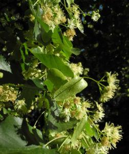 Sommerlinde Bluete gelblich Tilia platyphyllos 15