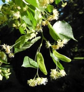 Sommerlinde Bluete gelblich Tilia platyphyllos 16