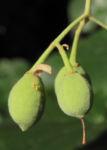 Sommerlinde Frucht gruen Tilia platyphyllos 07