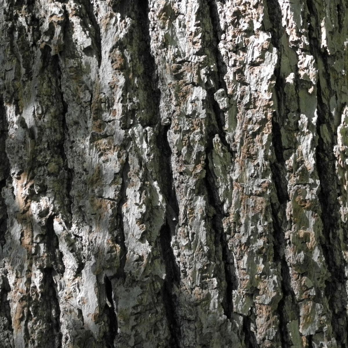 Sommerlinde Rinde grau Tilia platyphyllos
