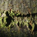 Sommerlinde Rinde grau Tilia platyphyllos 02